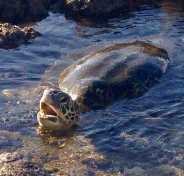 Renate & Gerhard                     Unser Traumurlaub auf Maui, inklusive Besuch von diesem Meeresbewohner. Alles perfekt organisiert und unvergesslich.